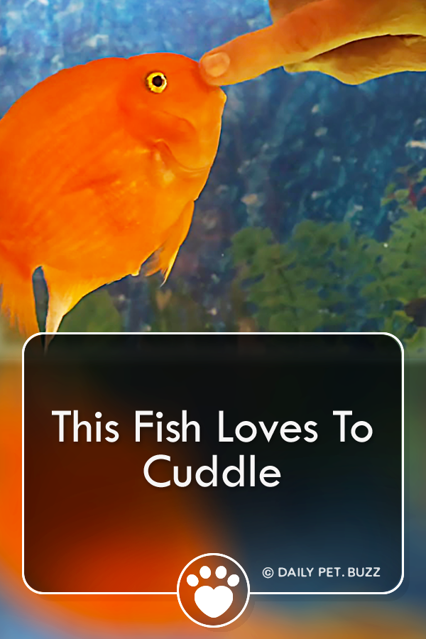 This Fish Loves To Cuddle