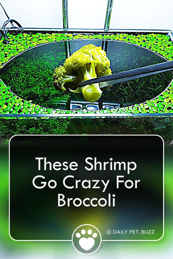 These Shrimp Go Crazy For Broccoli