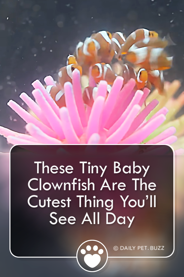 These Tiny Baby Clownfish Are The Cutest Thing You'll See All Day