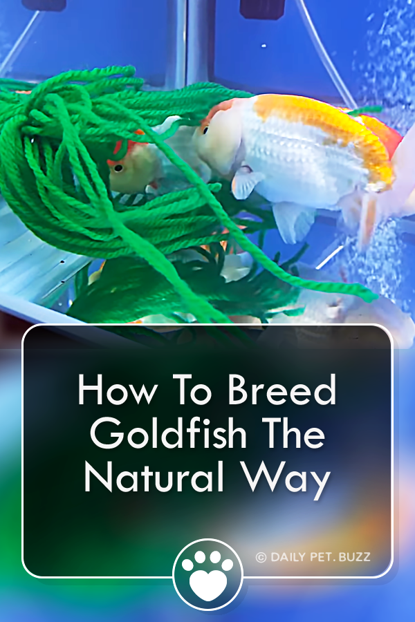 How To Breed Goldfish The Natural Way
