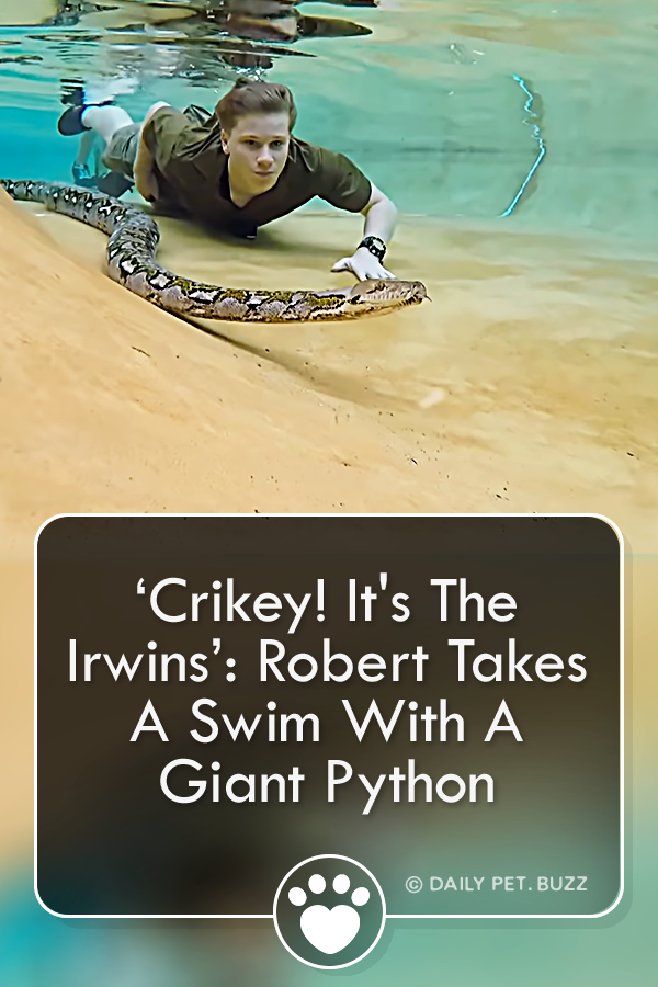 'Crikey! It\'s The Irwins': Robert Takes A Swim With A Giant Python