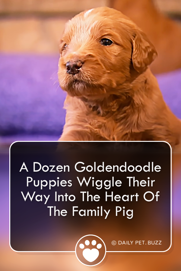 A Dozen Goldendoodle Puppies Wiggle Their Way Into The Heart Of The Family Pig