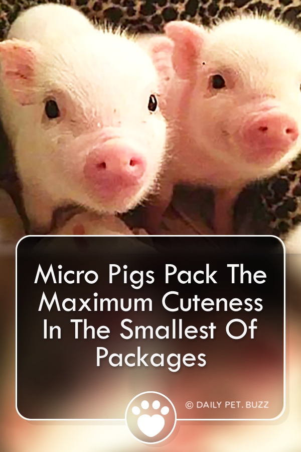 Micro Pigs Pack The Maximum Cuteness In The Smallest Of Packages