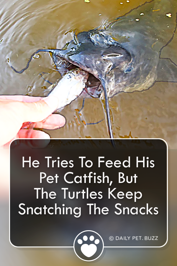He Tries To Feed His Pet Catfish, But The Turtles Keep Snatching The Snacks