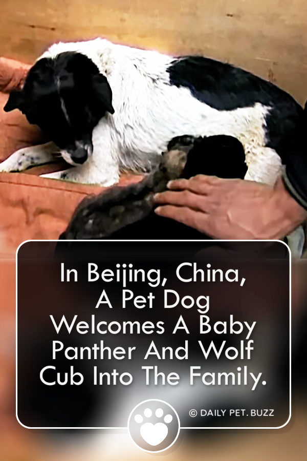 In Beijing, China, A Pet Dog Welcomes A Baby Panther And Wolf Cub Into The Family.