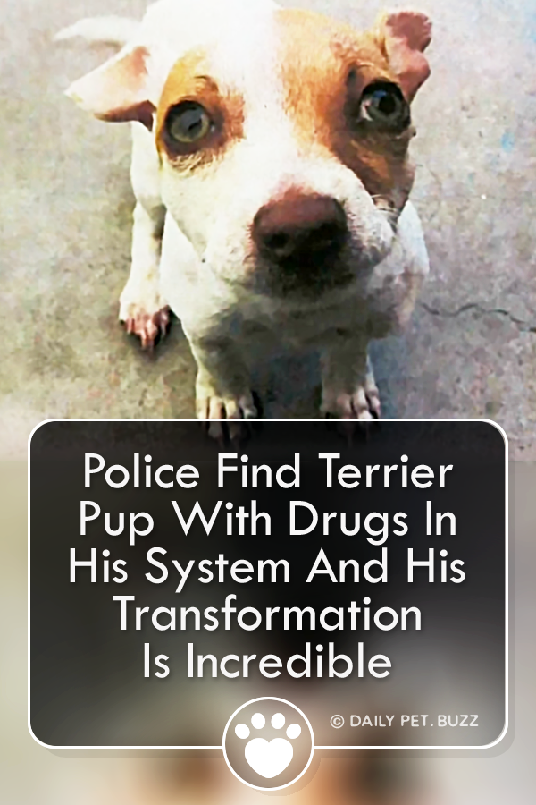 Police Find Terrier Pup With Drugs In His System And His Transformation Is Incredible