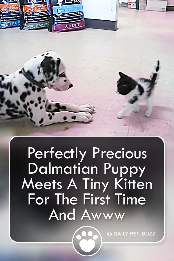 Perfectly Precious Dalmatian Puppy Meets A Tiny Kitten For The First Time And Awww
