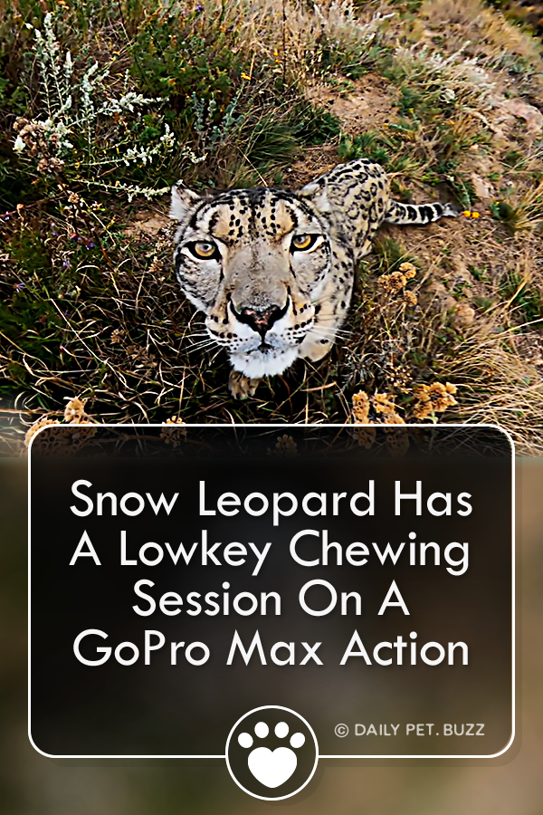 Snow Leopard Has A Lowkey Chewing Session On A GoPro Max Action Camera