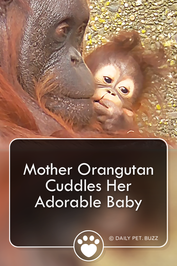 Mother Orangutan Cuddles Her Adorable Baby