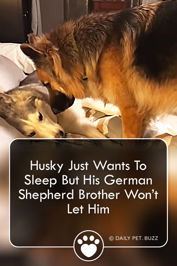 Husky Just Wants To Sleep But His German Shepherd Brother Won't Let Him
