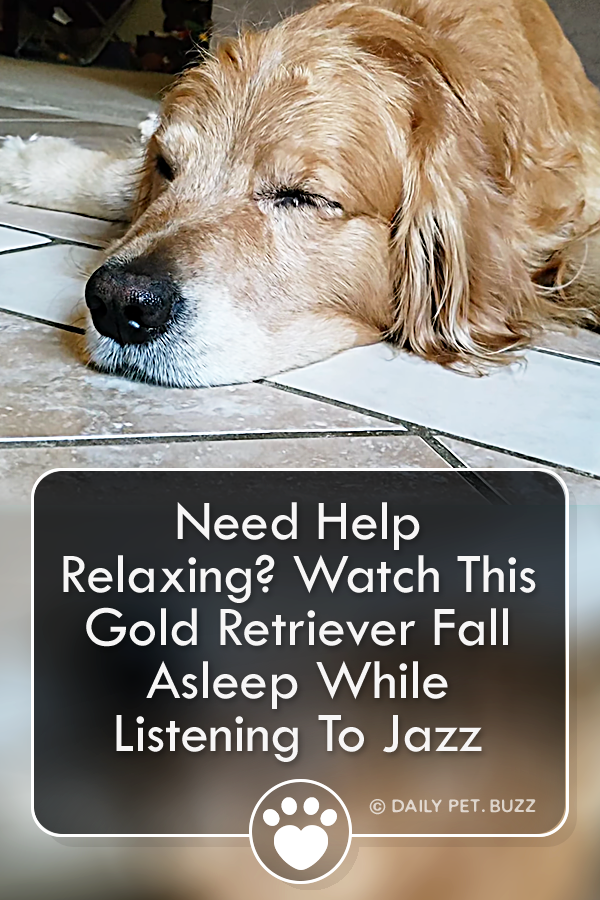 Need Help Relaxing? Watch This Gold Retriever Fall Asleep While Listening To Jazz