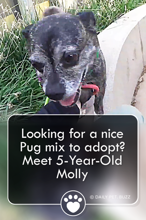 Looking for a nice Pug mix to adopt? Meet 5-Year-Old Molly