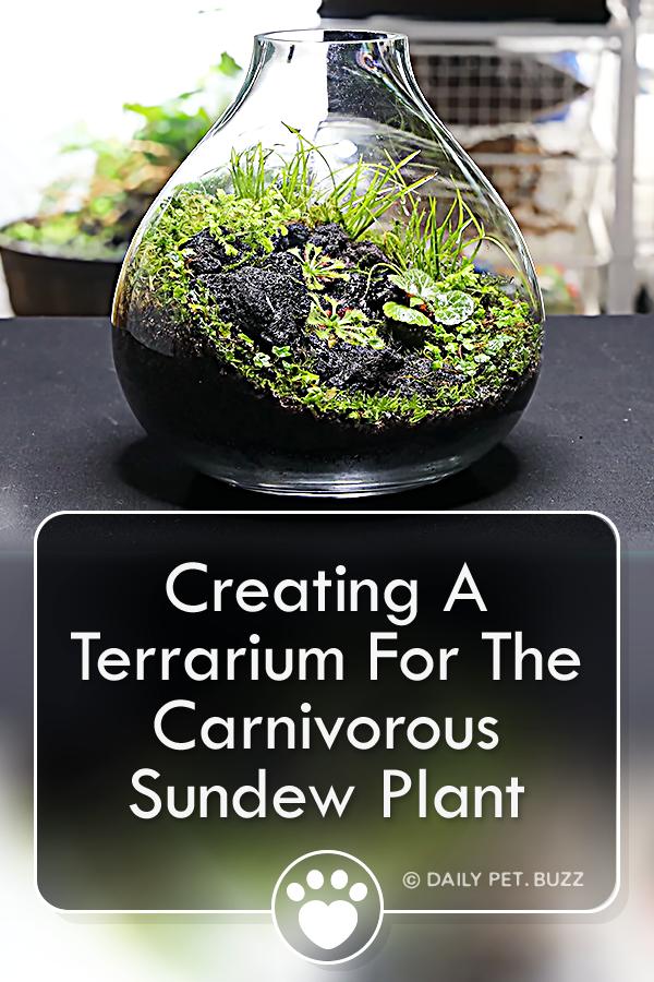 Creating A Terrarium For The Carnivorous Sundew Plant