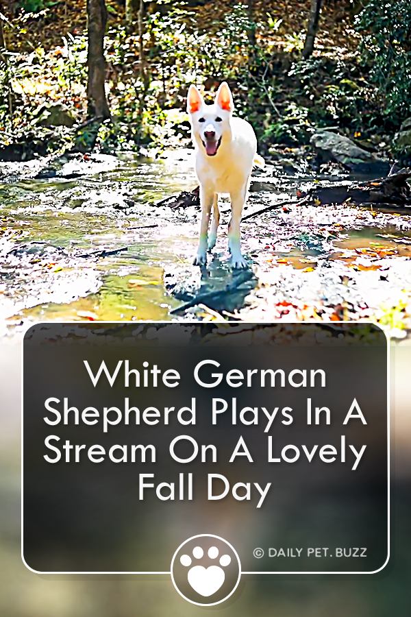 White German Shepherd Plays In A Stream On A Lovely Fall Day