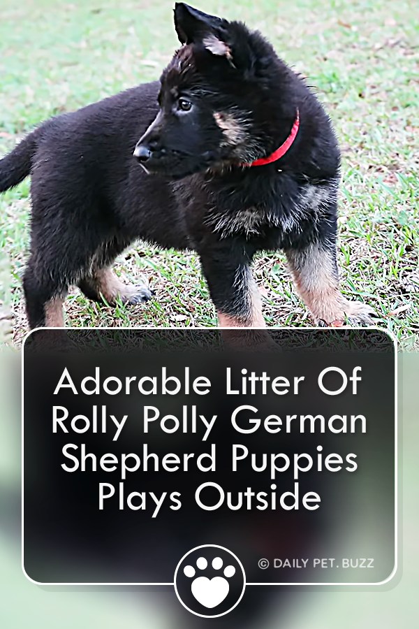 Adorable Litter Of Rolly Polly German Shepherd Puppies Plays Outside
