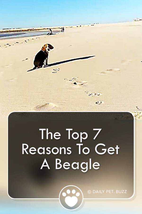 The Top 7 Reasons To Get A Beagle