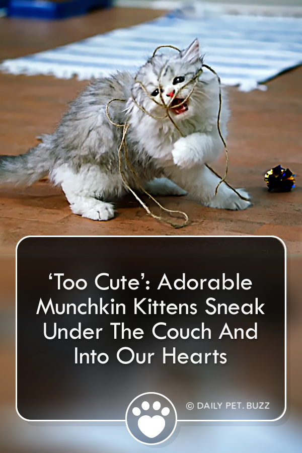 'Too Cute': Adorable Munchkin Kittens Sneak Under The Couch And Into Our Hearts