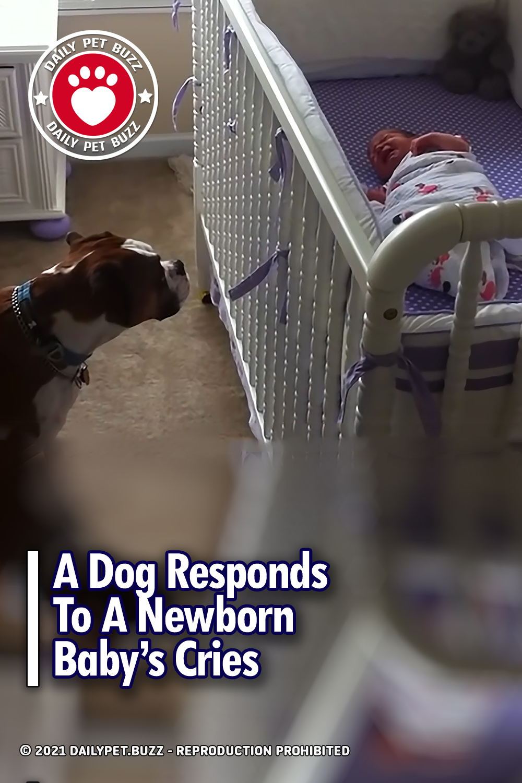 A Dog Responds To A Newborn Baby's Cries
