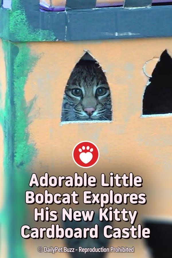 Adorable Little Bobcat Explores His New Kitty Cardboard Castle