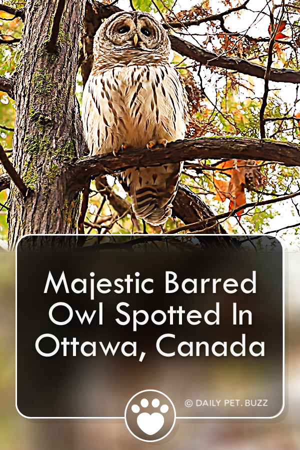 Majestic Barred Owl Spotted In Ottawa, Canada