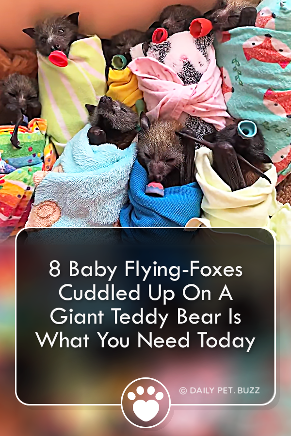 8 Baby Flying-Foxes Cuddled Up On A Giant Teddy Bear Is What You Need Today