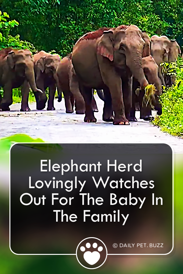 Elephant Herd Lovingly Watches Out For The Baby In The Family