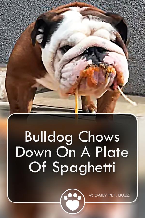 Bulldog Chows Down On A Plate Of Spaghetti