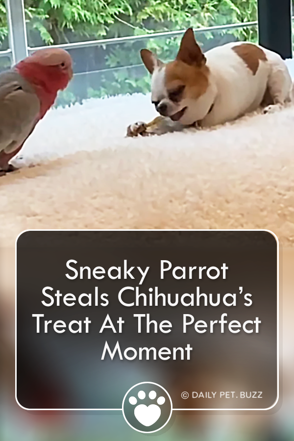 Sneaky Parrot Steals Chihuahua's Treat At The Perfect Moment