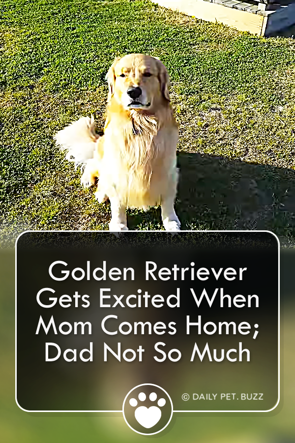 Golden Retriever Gets Excited When Mom Comes Home; Dad Not So Much