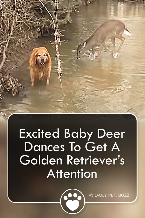 Excited Baby Deer Dances To Get A Golden Retriever's Attention