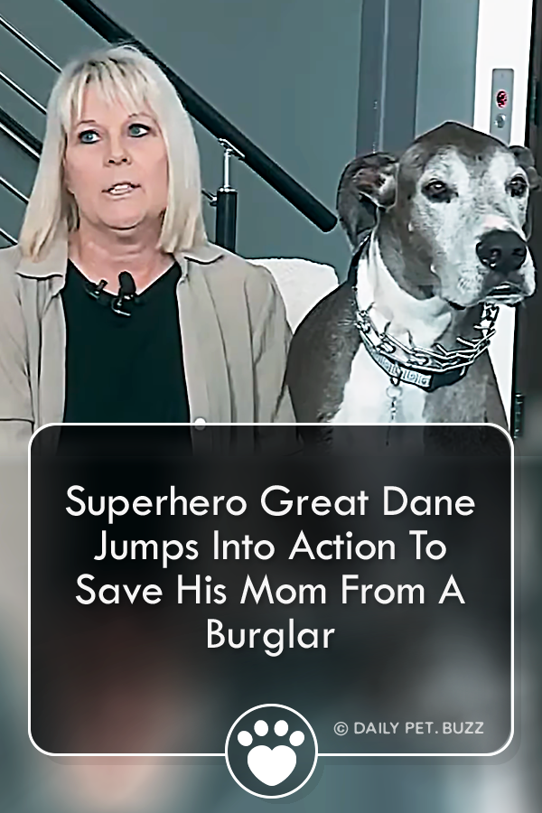 Superhero Great Dane Jumps Into Action To Save His Mom From A Burglar
