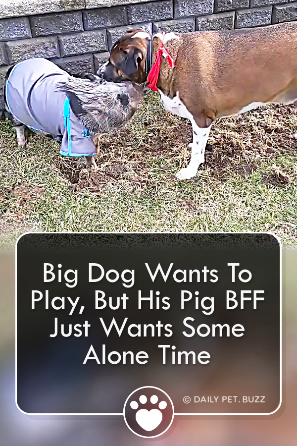 Big Dog Wants To Play, But His Pig BFF Just Wants Some Alone Time