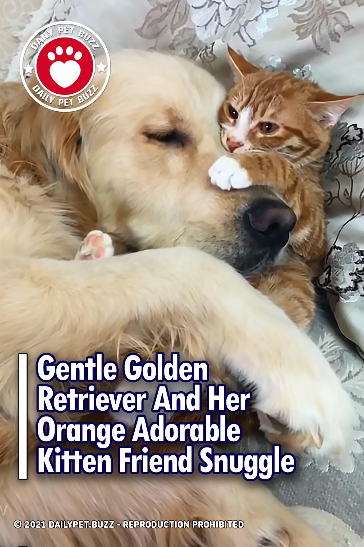 Gentle Golden Retriever And Her Orange Adorable Kitten Friend Snuggle