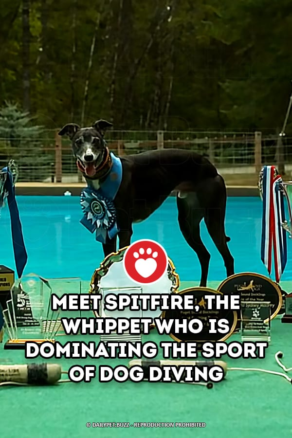 Meet Spitfire, The Whippet Who Is Dominating The Sport Of Dog Diving