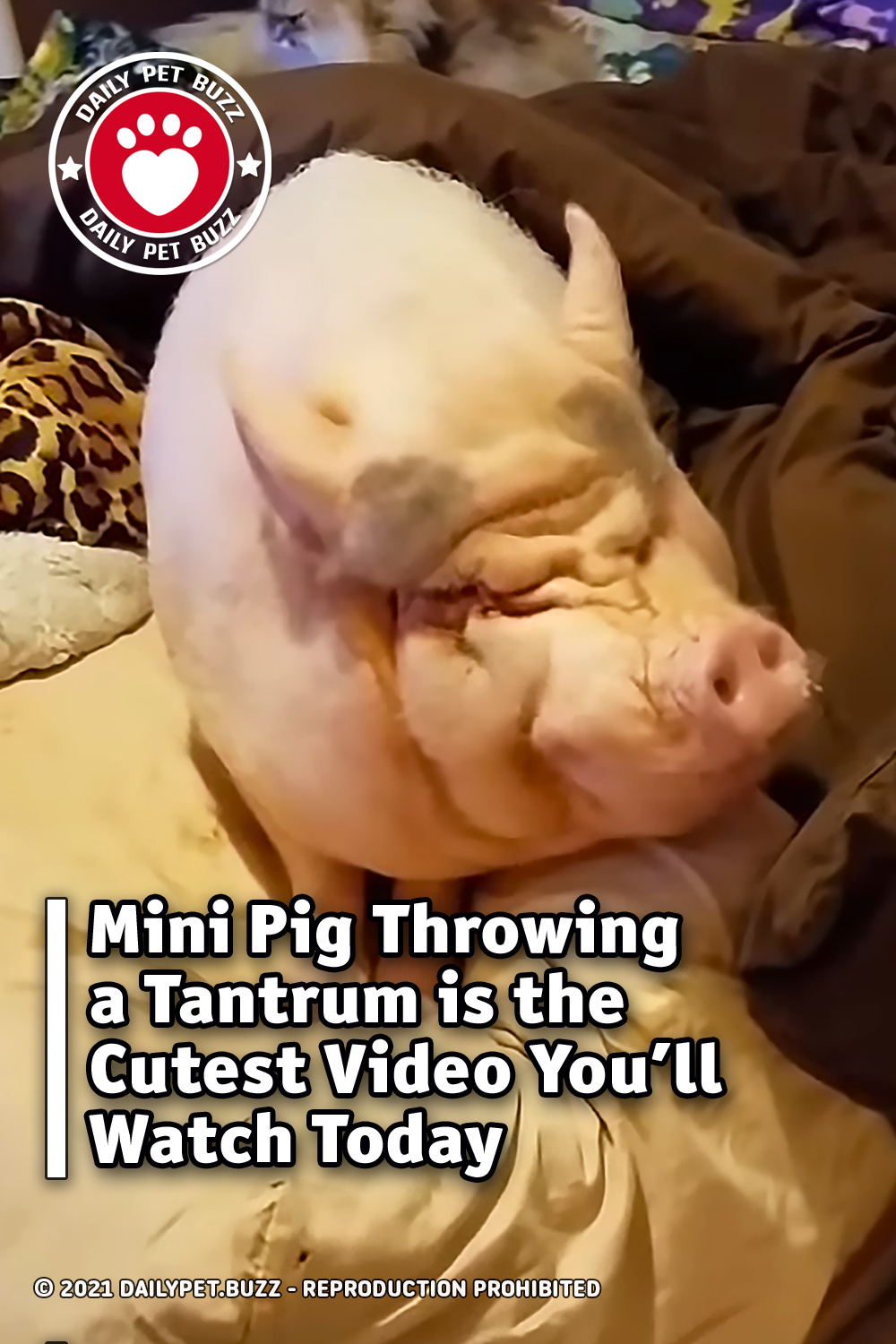 Mini Pig Throwing a Tantrum is the Cutest Video You\'ll Watch Today