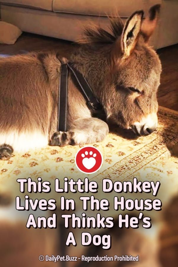 This Little Donkey Lives In The House And Thinks He's A Dog