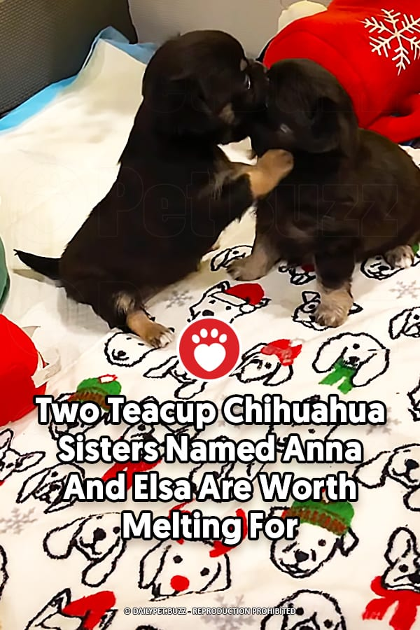 Two Teacup Chihuahua Sisters Named Anna And Elsa Are Worth Melting For