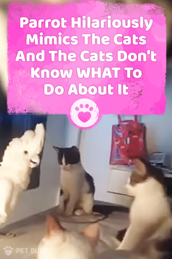 Parrot Hilariously Mimics The Cats And The Cats Don\'t Know WHAT To Do About It