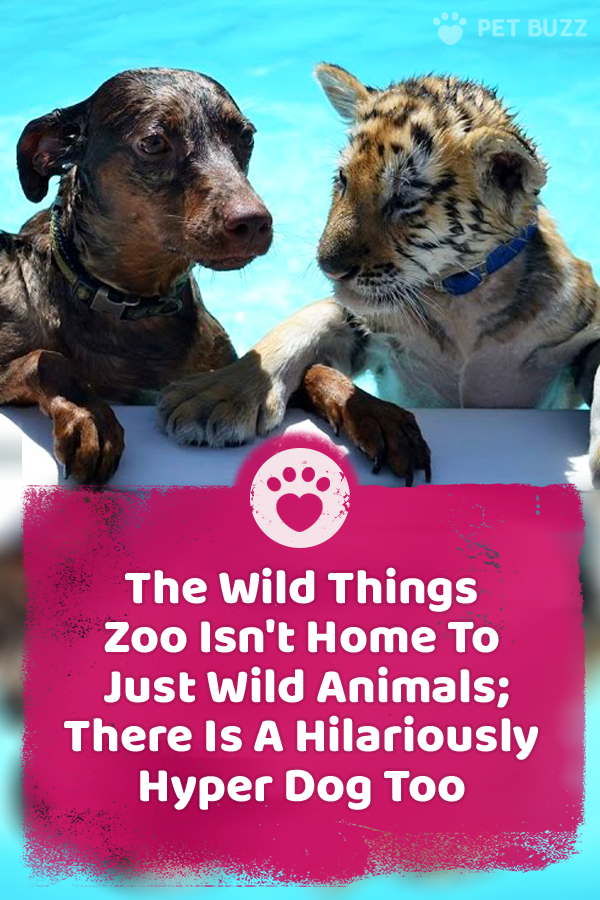 The Wild Things Zoo Isn\'t Home To Just Wild Animals; There Is A Hilariously Hyper Dog Too