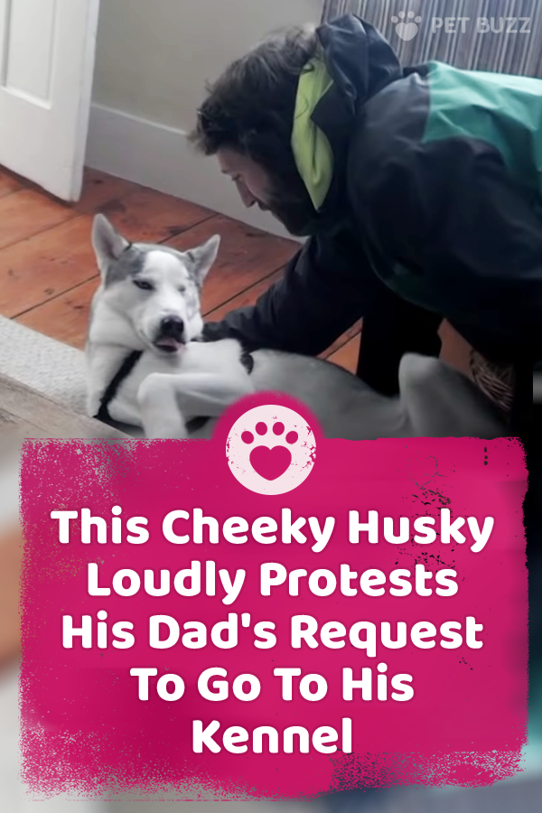 This Cheeky Husky Loudly Protests His Dad\'s Request To Go To His Kennel