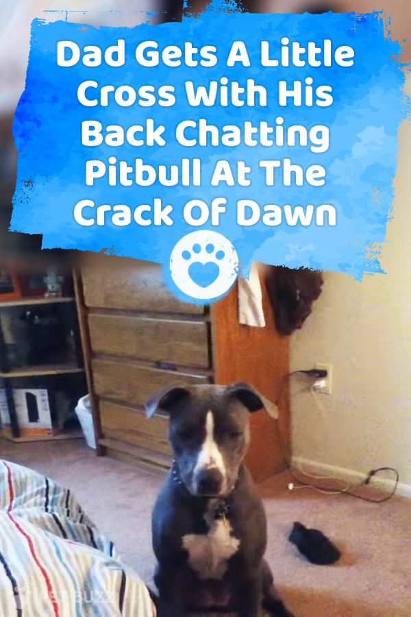 Dad Gets A Little Cross With His Back Chatting Pitbull At The Crack Of Dawn