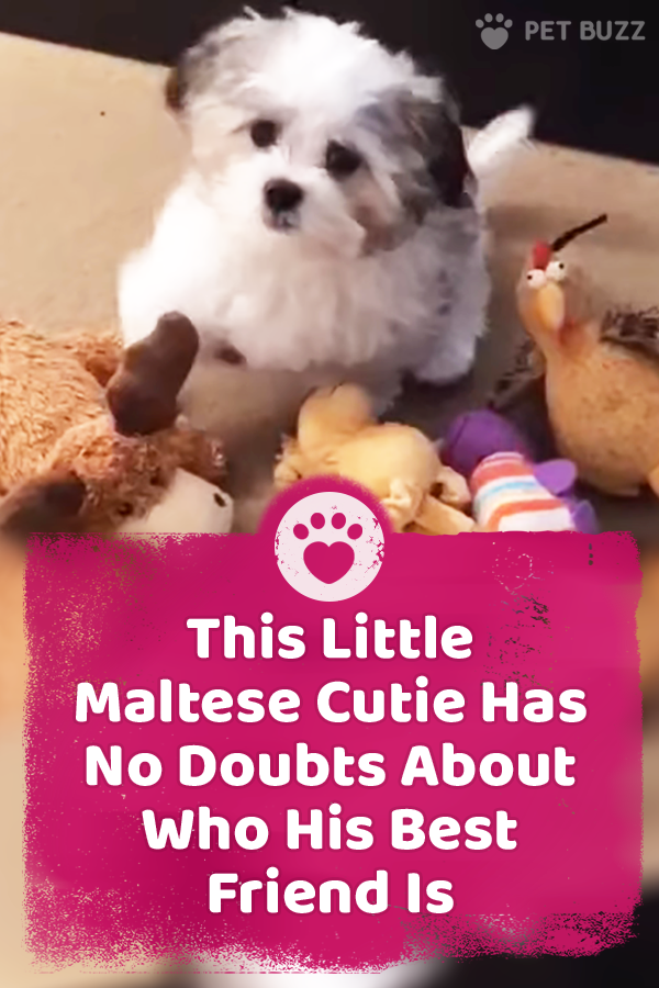 This Little Maltese Cutie Has No Doubts About Who His Best Friend Is
