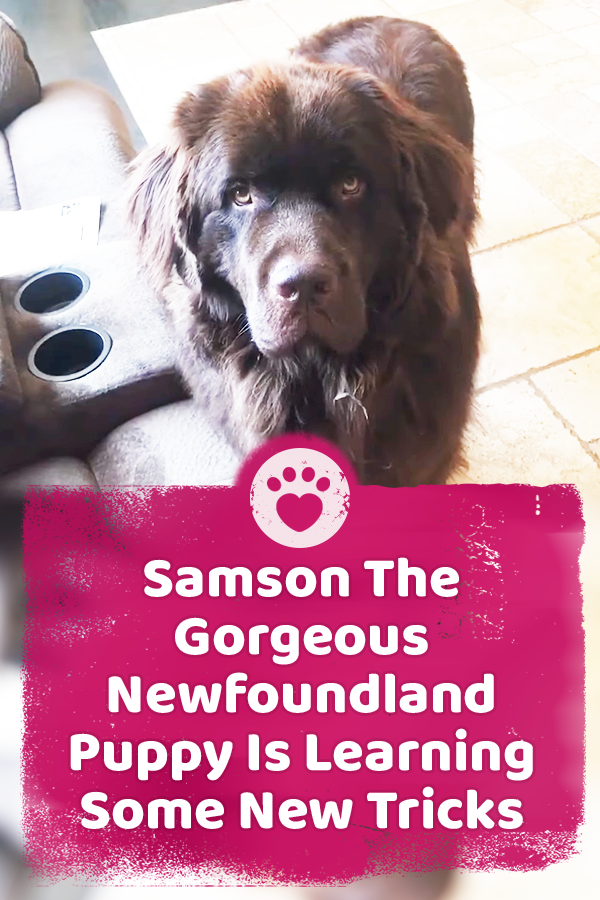Samson The Gorgeous Newfoundland Puppy Is Learning Some New Tricks
