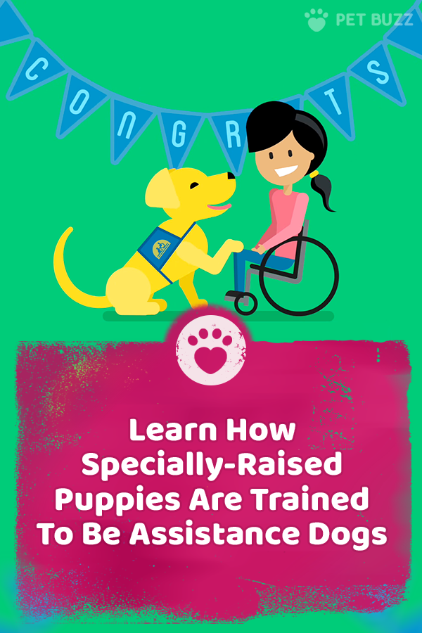Learn How Specially-Raised Puppies Are Trained To Be Assistance Dogs