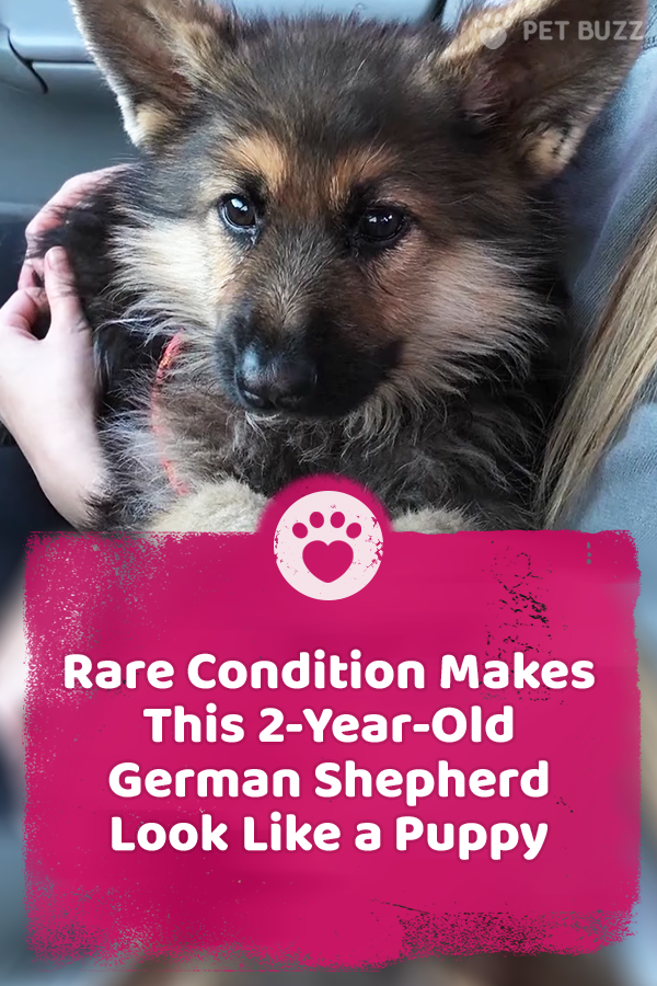 Rare Condition Makes This 2-Year-Old German Shepherd Look Like a Puppy