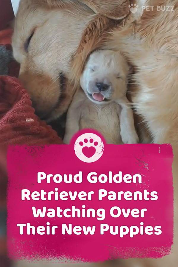 Proud Golden Retriever Parents Watching Over Their New Puppies