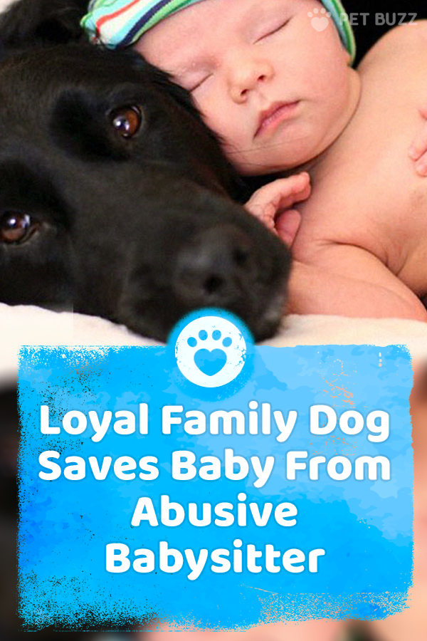 Loyal Family Dog Saves Baby From Abusive Babysitter