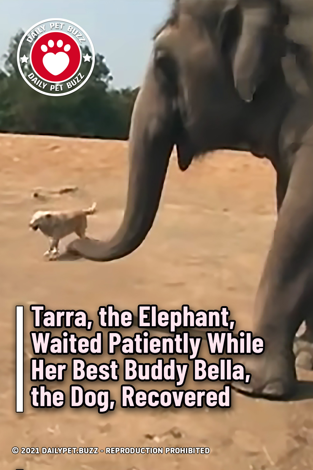 Tarra, the Elephant, Waited Patiently While Her Best Buddy Bella, the Dog, Recovered