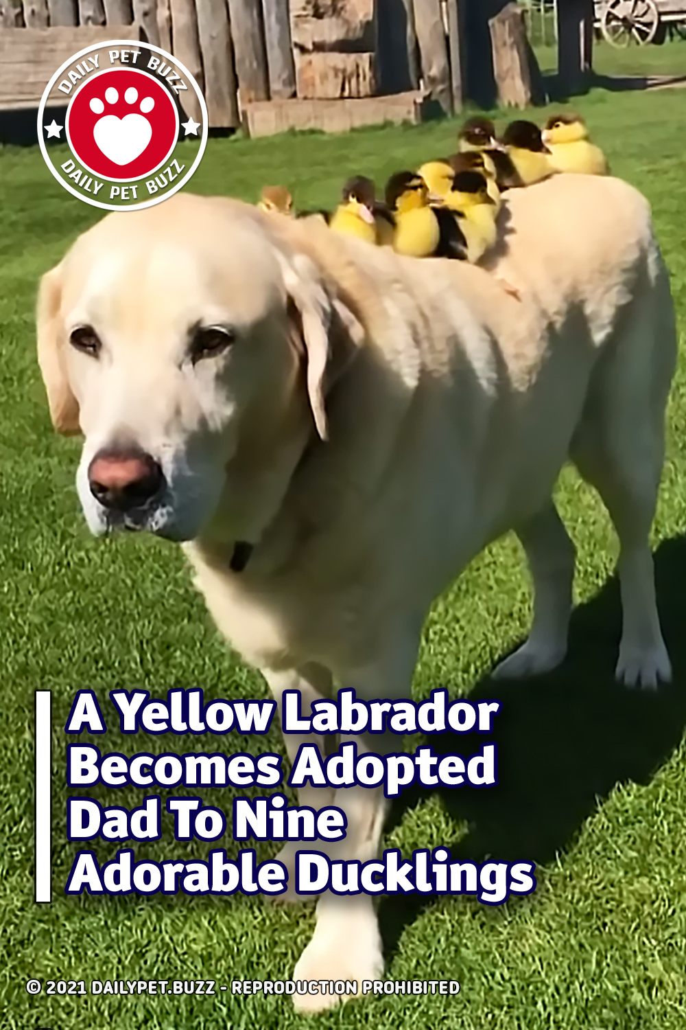 A Yellow Labrador Becomes Adopted Dad To Nine Adorable Ducklings