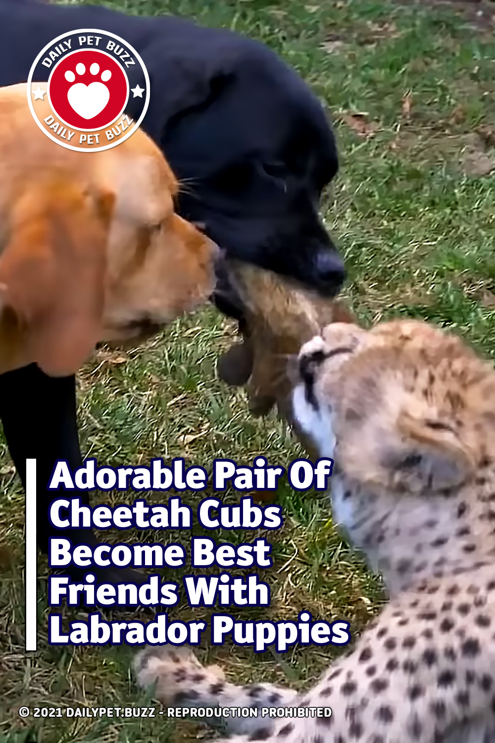 Adorable Pair Of Cheetah Cubs Become Best Friends With Labrador Puppies